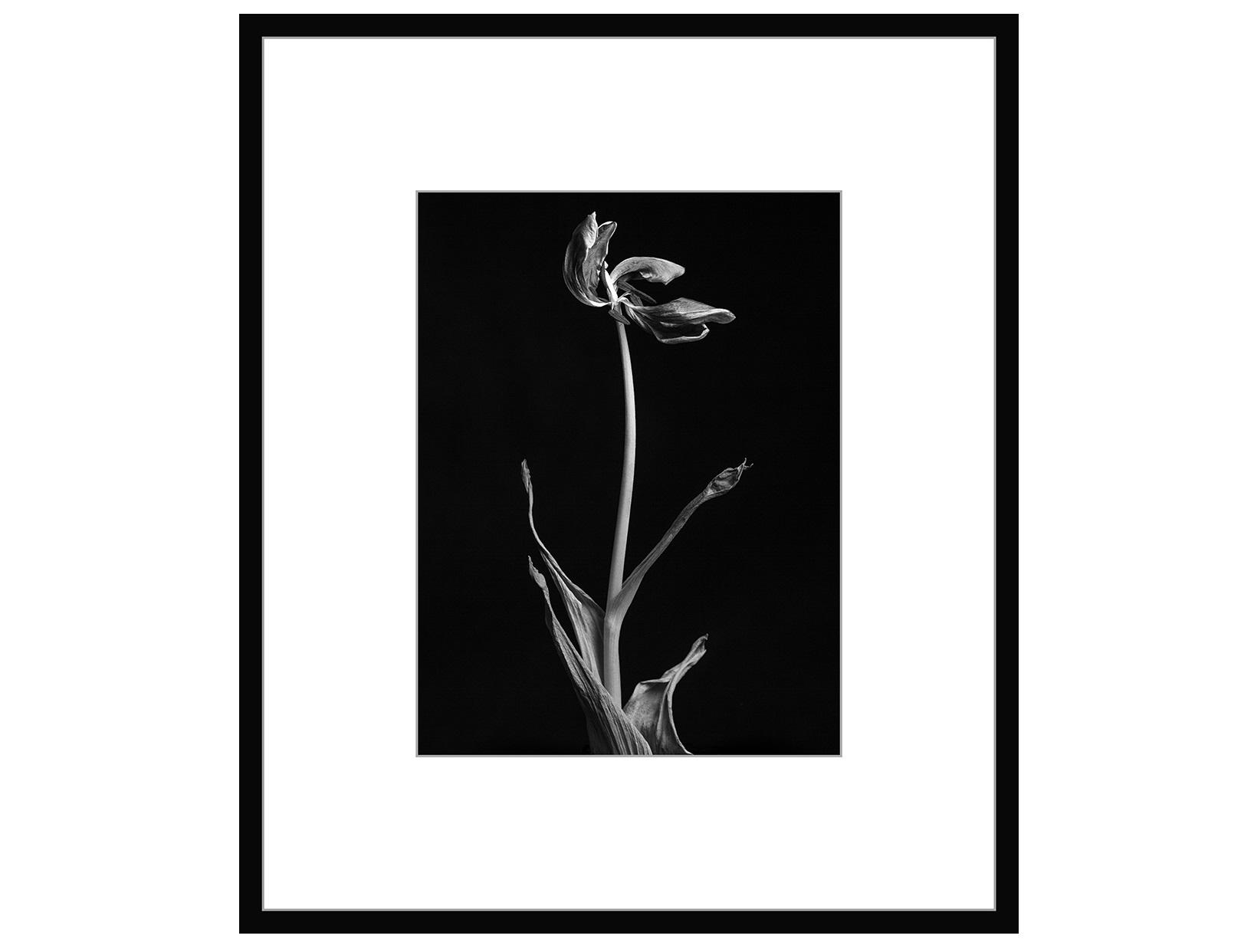 Авторская арт-фотография dead tulip #2 (george rouchin photography) черный 75x90 см. фото
