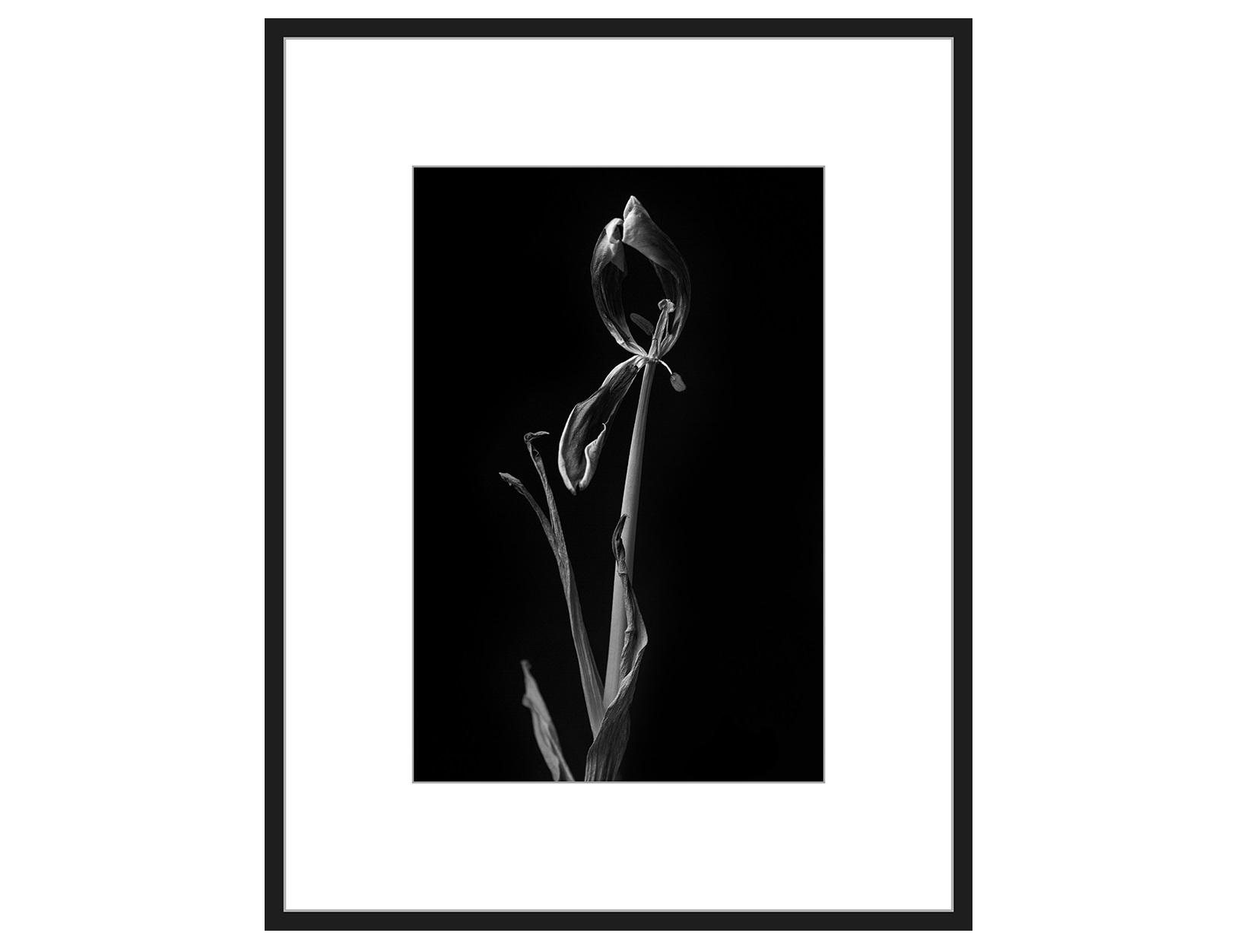 Авторская арт-фотография Dead Tulip #8Постеры<br>Авторская фотография для интерьера, оформленная с галерейным качеством, в раме, с паспарту, под стеклом. Срок поставки — 3-5 рабочих дней с момента оформления заказа.<br><br>kit: None<br>gender: None