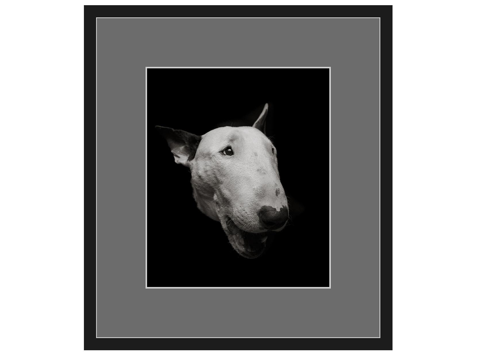 Авторская арт-фотография bull terrier #2 (george rouchin photography) черный 73x82 см. фото